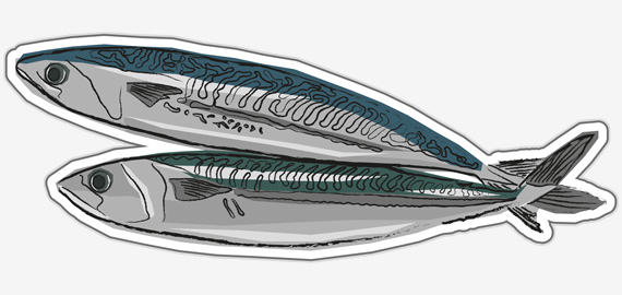 Mackerel illustration